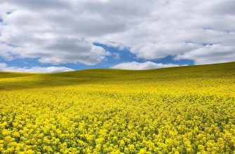 В Канаде не могут собрать урожай рапса из-за плохой погоды