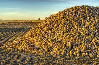 Жамбылские свекловоды собрали более 21 тыс. тонн сладких клубней
