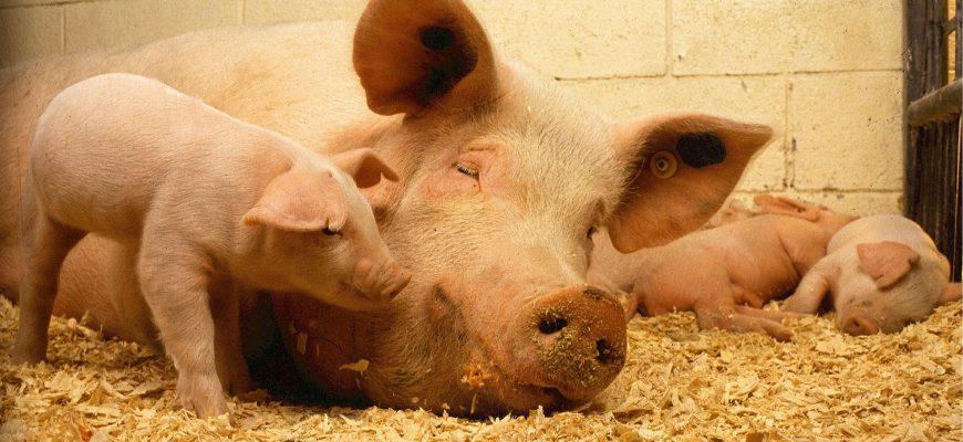В свиноводческой отрасли Польши намечается кризис