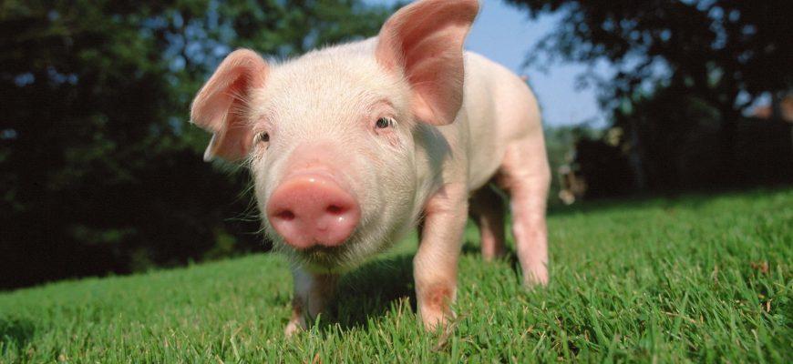 За 1 квартал количество свиней в Казахстане возросло на 9,5%