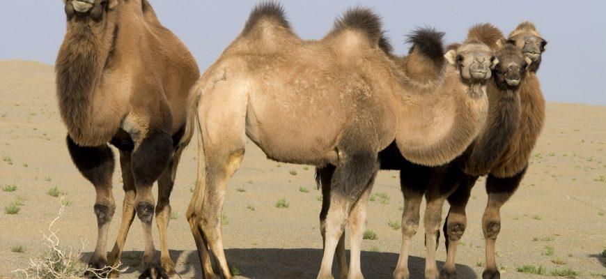 В Алматинской области поголовье верблюдов сократилось на 1,5%, свиней - на 13%
