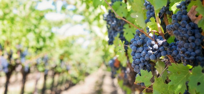 Виноградарство нужно восстанавливать