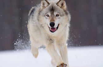 Кто пойдет на волка?