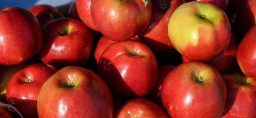 В Краснодарском крае собрано свыше 100 тысяч тонн яблок