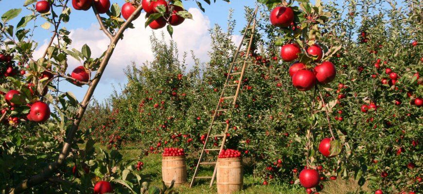 Вместо саксаула - яблоневые сады?