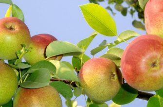 Местные яблоки могут подешеветь