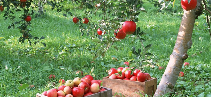 Россия: На Ставрополье собран рекордный урожай яблок