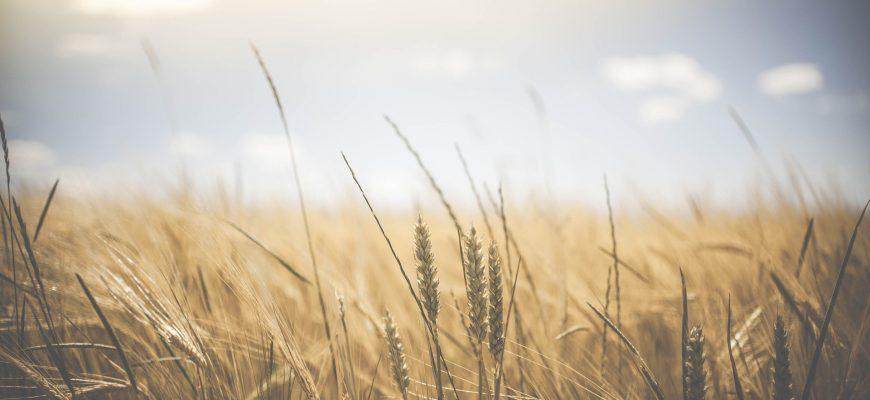 Среда проявилась новым общим ростом пшеницы