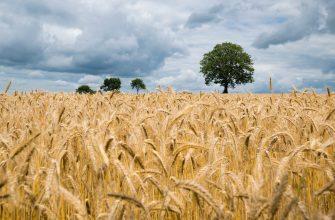 В четверг пшеница в США продолжала снижаться, а во Франции повышаться