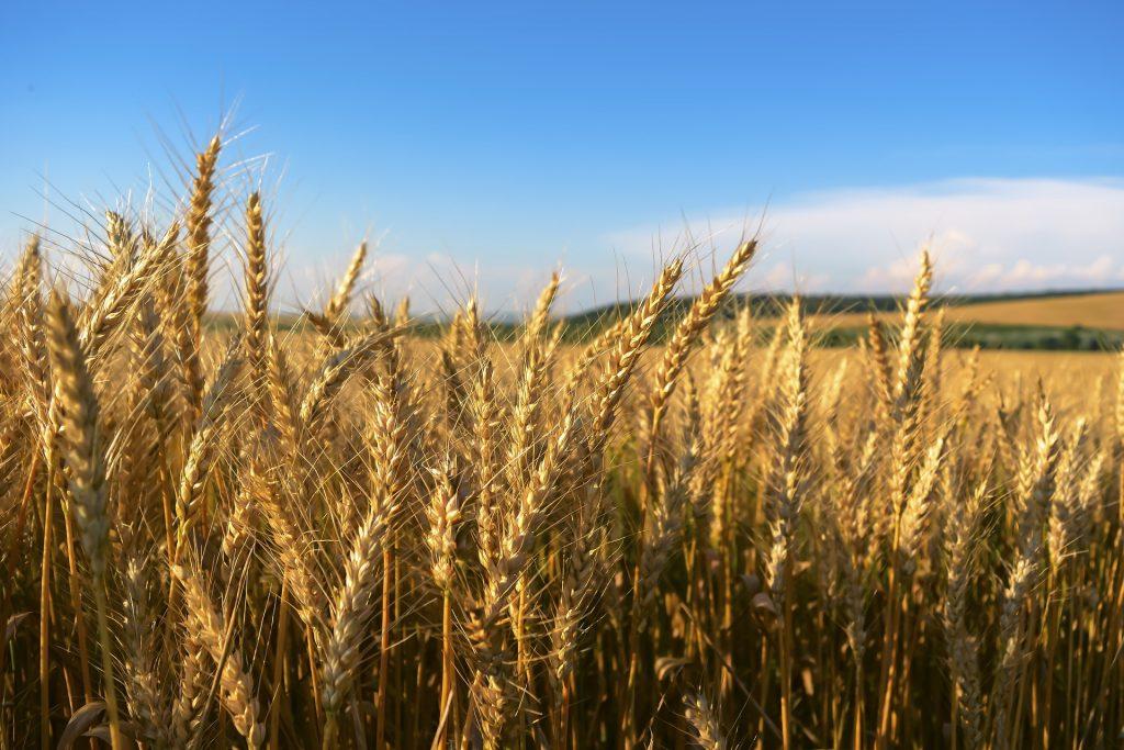 Прогноз мирового экспорта пшеницы вырос, но Казахстан в этом не участвует
