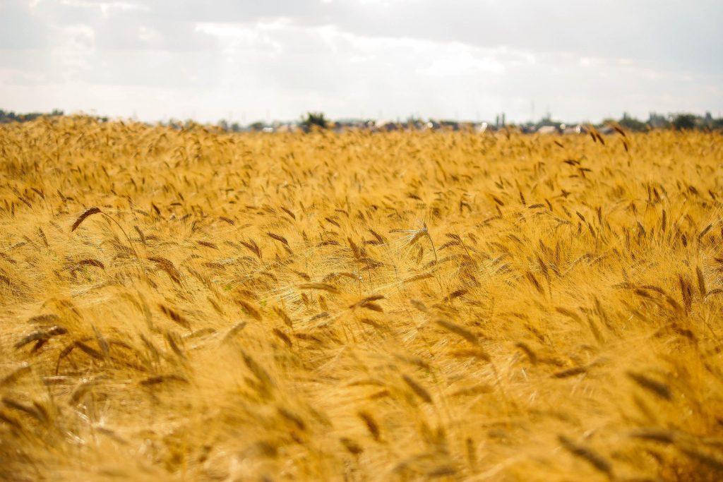 В течение года ячмень в Казахстане вырос на 40%