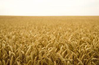 В пятницу в США никаких изменений, а в Европе пшеница повысилась