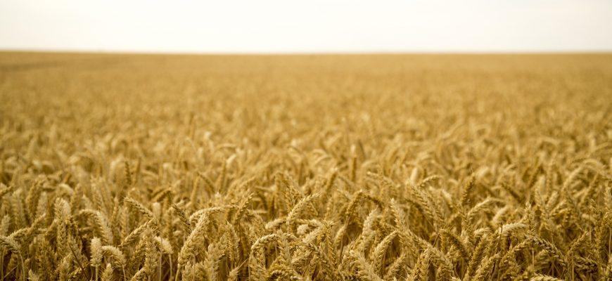 Урожай зерновых в США вырастет до 438,3 млн тонн в текущем сезоне