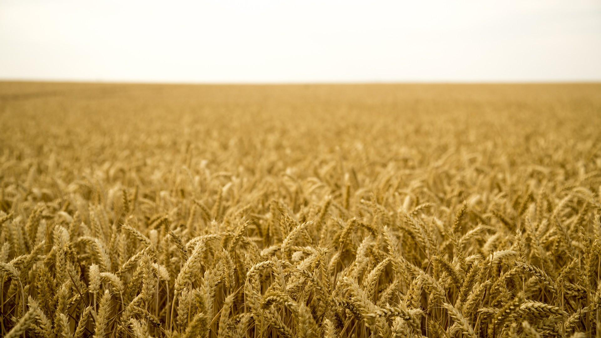 В среду пшеница в США пошла вниз, а в Европе опять продвинулась вверх