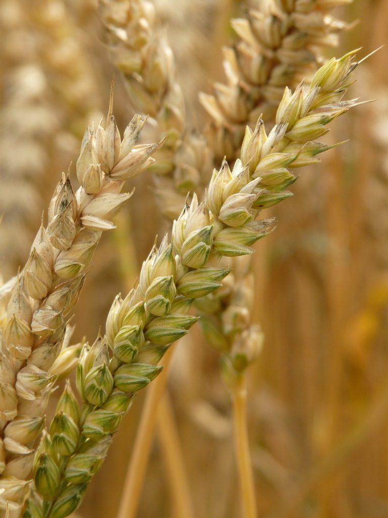 На ЕТС пшеница 3 класса подешевела на 6%, на Чикагской бирже — подорожала
