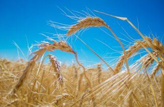 17 сентября пшеница в США и Европе совершила значительный рывок вверх