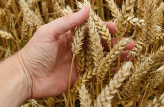 В четверг котировки пшеницы, кукурузы и сои в США значительно возросли
