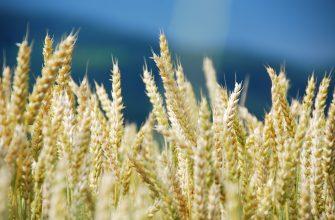 За ноябрь все российские зерновые повысились, но в меньшей динамике