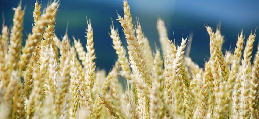 Во вторник пшеница в США чуть отыграла вверх, а в Европе снизилась еще