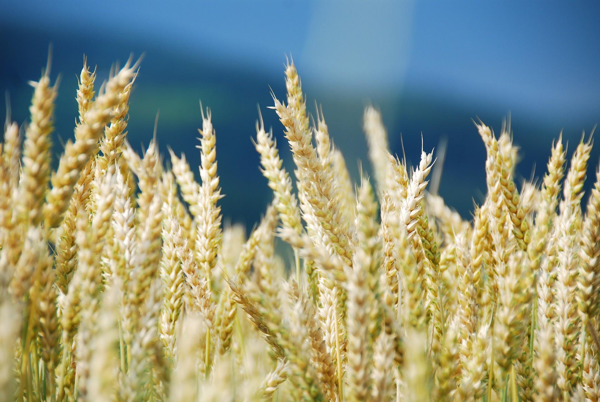 В понедельник пшеница в США и Европе осталась в динамике повышения