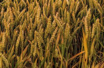 В зерносеющих регионах Казахстана условия для начала уборки удовлетворительные - агрообзор