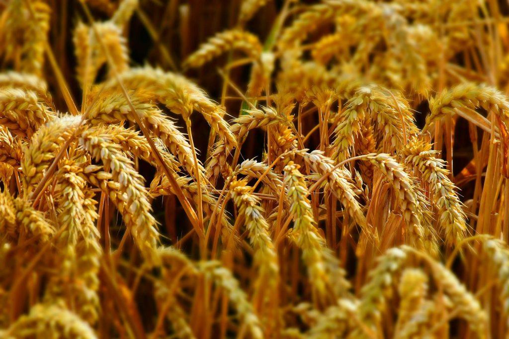 В понедельник пшеница в США развернулась вниз, а в Европе вверх