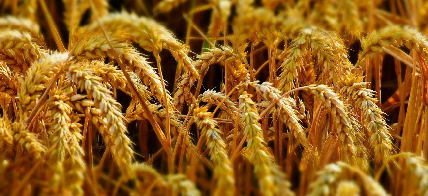 Июльский провал российских зерновых сменился августовским ростом