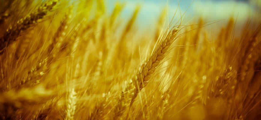 Российские химики изобрели препарат для уничтожения грибка зерновых