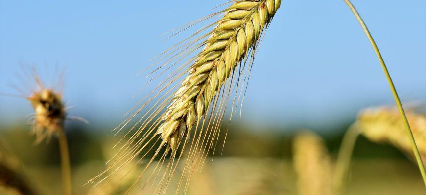 В понедельник на ЕТС торговля мягкой пшеницей 3 класса продолжилась