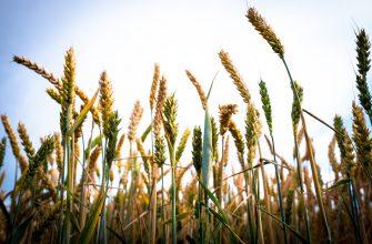 В среду котировки пшеницы в США и Европе вместе развернулись вверх