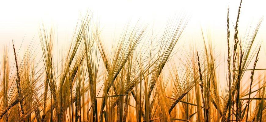 Новая неделя началась с ослабления  позиций пшеницы в США и Европе