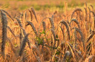 В Кировской области рассчитывают собрать примерно 607 тысяч тонн зерна