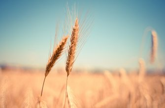 В середине февраля пшеница FOB в США и Европе в основном выросла