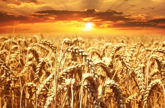 С 9 по 16 октября российские зерновые культуры сбавили темпы роста