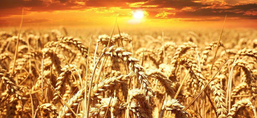 Алжир закупил 570 000 тонн пшеницы на тендере