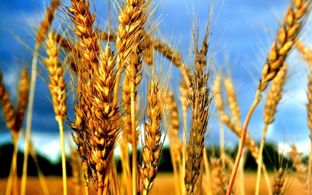 В среду европейская пшеница присоединилась в росте к американской