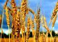 В России намолочено почти 45 млн тонн пшеницы