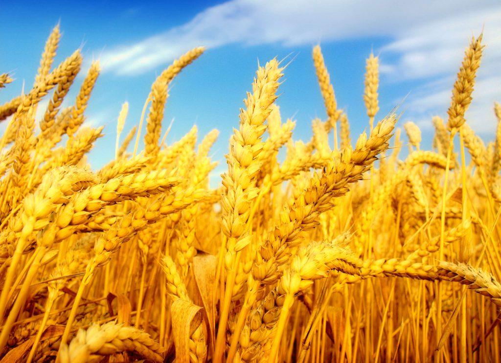 За прошлую неделю пшеница в США и Франции снизилась, а в Британии выросла