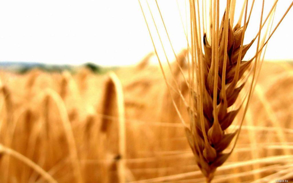В июле рынок FOB по пшенице, ячменю, кукурузе и сое вырос по всем позициям