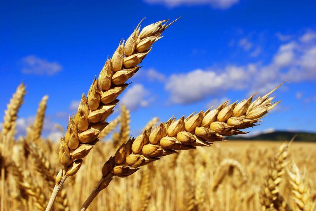 Пшеница в США завершила неделю ростом, а в Европе снижением