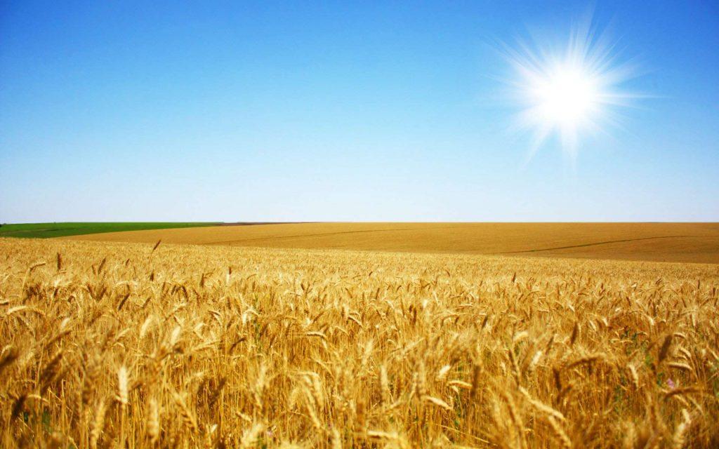 В среду пшеница в Европе и США разошлась, в Европе развернулась вверх