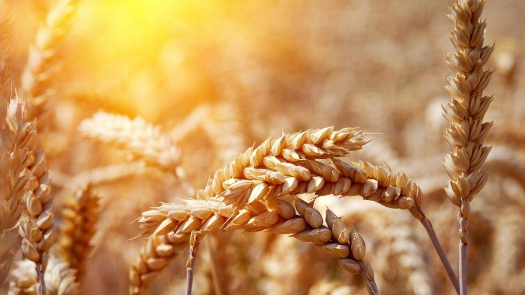 К середине недели пшеница в США и Европе шагнула вверх