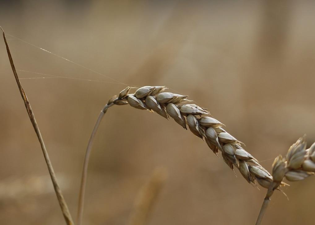 К середине октября пшеничный рынок FOB поднялся повсеместно