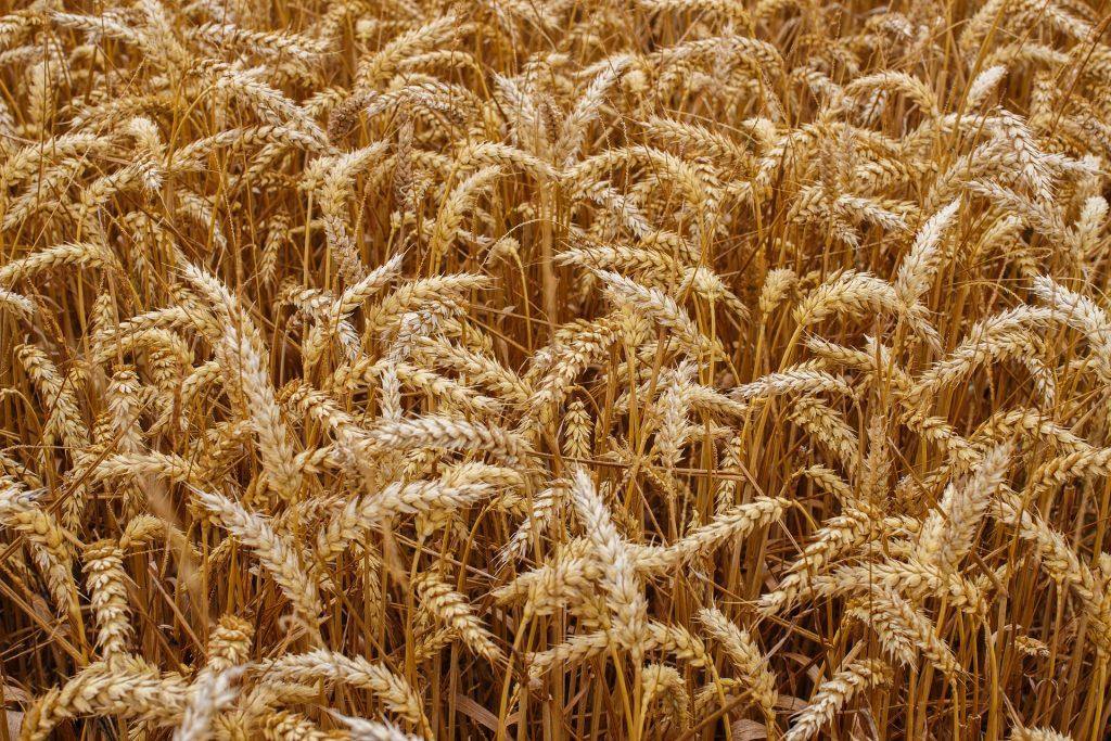 Зарубежные эксперты пророчат Казахстану в 2020-21 сезоне больший урожай и экспорт