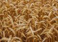 В понедельник неделя началась с падения котировок пшеницы