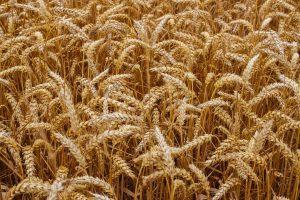 Пшеница без «диверсий»