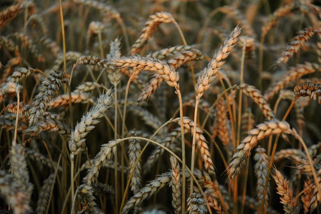 Накануне «большой» уборки прогнозы урожая-2020 в Казахстане стали более оптимистичны