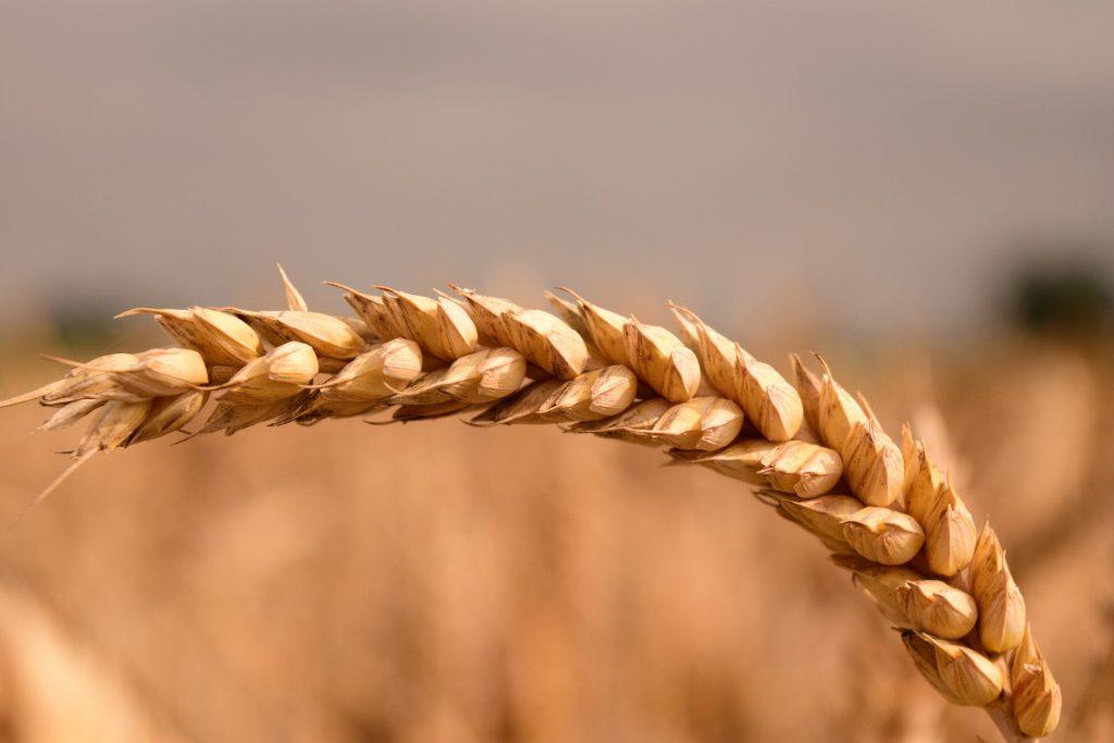 К концу недели пшеница в Британии и США пошла вверх