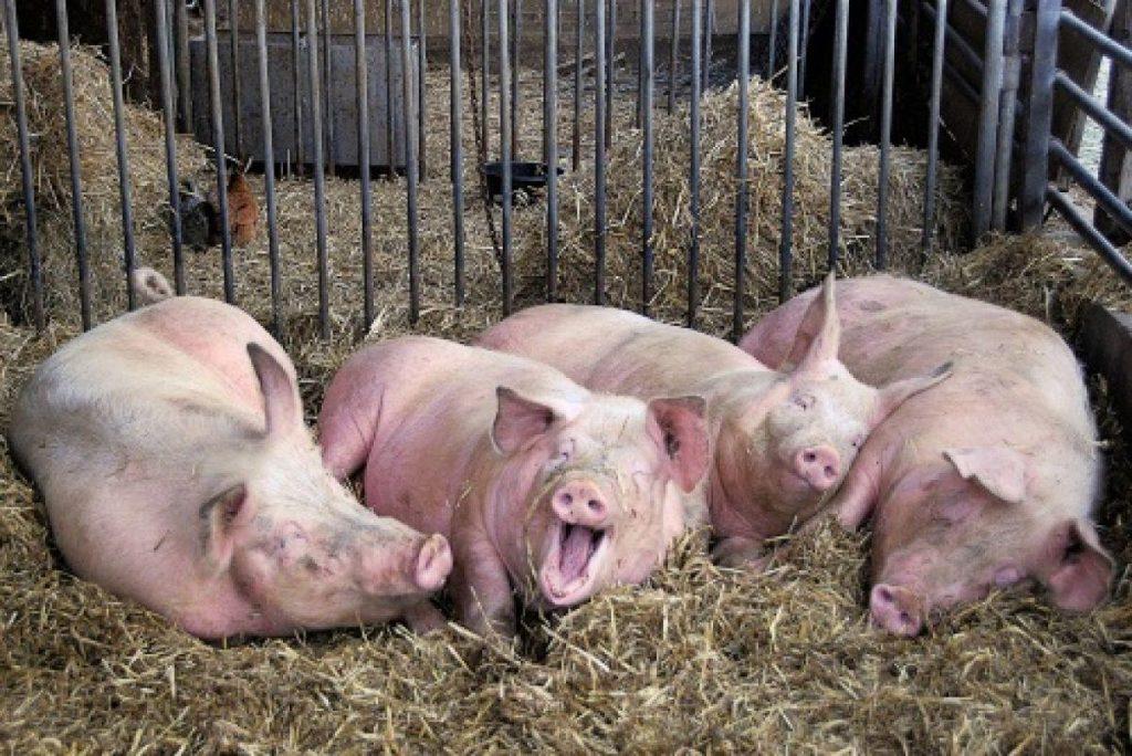 Поголовье свиней в КНР за июль сократилось на треть