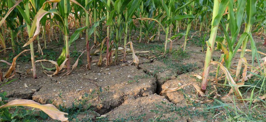 Засуха в КНДР уничтожила зерновые культуры
